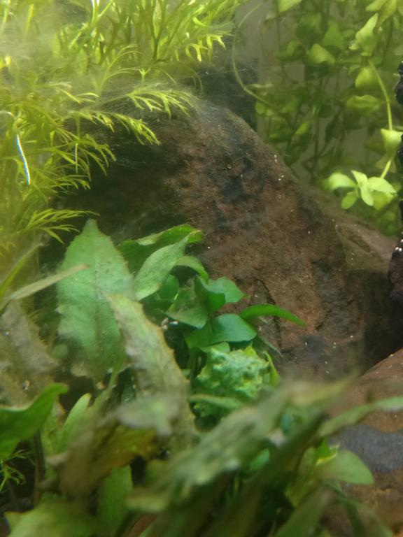 Click image for larger version  Name:algae_closeup.jpg Views:24 Size:53.6 KB ID:840057