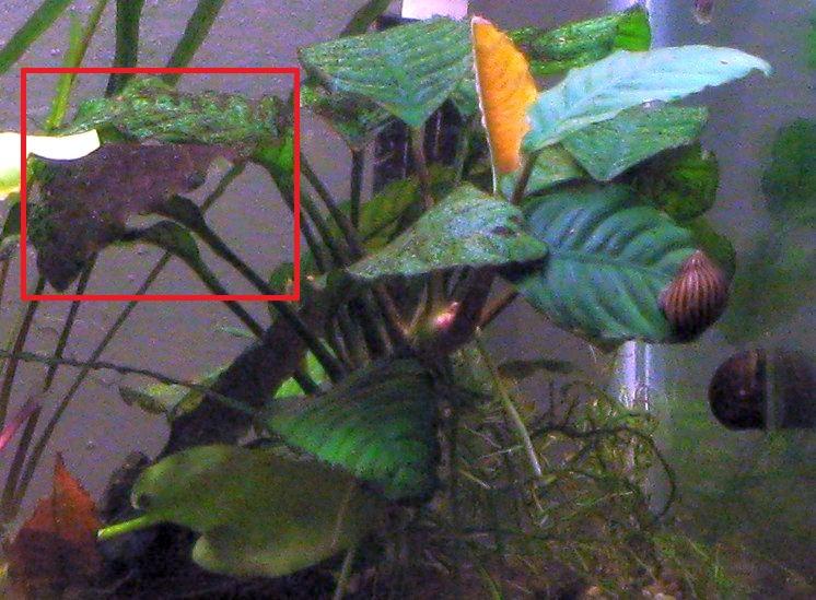Click image for larger version  Name:Anubias algae.jpg Views:67 Size:141.1 KB ID:36810