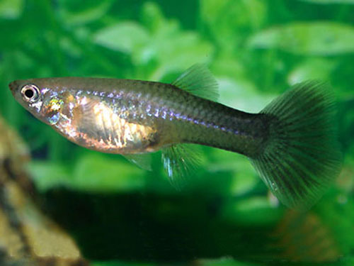 Name:  Black Guppy.jpg