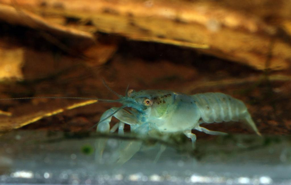 Click image for larger version  Name:ble dwarf cray.jpg Views:76 Size:49.6 KB ID:121794