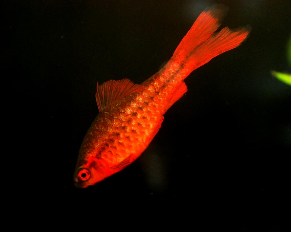 Click image for larger version  Name:cherry barb male.jpg Views:85 Size:38.5 KB ID:58706