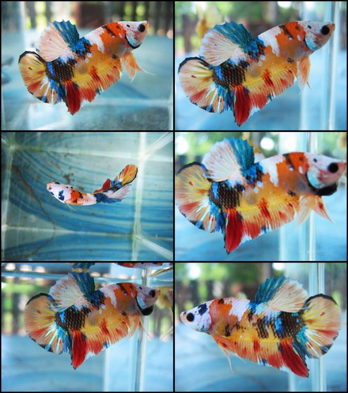 501 betta the planted tank forum for Raising koi fish