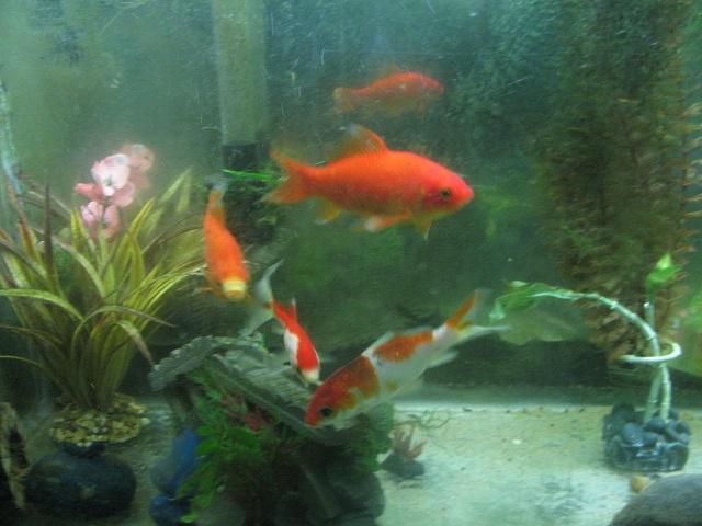 Click image for larger version  Name:goldfish.jpg Views:243 Size:106.2 KB ID:74738