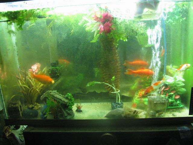 Click image for larger version  Name:goldfish tank.jpg Views:1310 Size:124.7 KB ID:74730