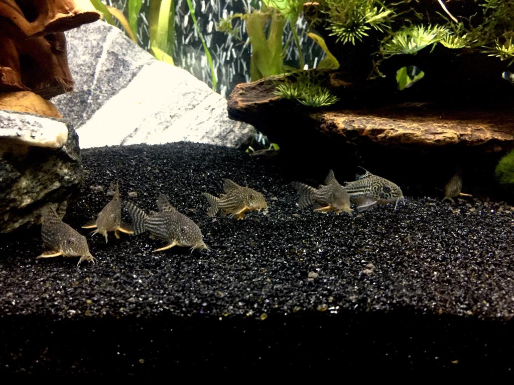 Aquarium black sand substrate 1000 aquarium ideas for Black sand fish tank