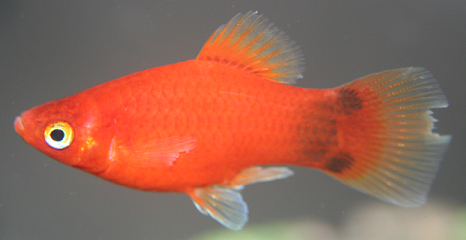 Platy fin damage or fin rot the planted tank forum for Fish tail fin