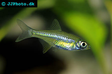 Name:  microdevario_kubotai_1.jpg