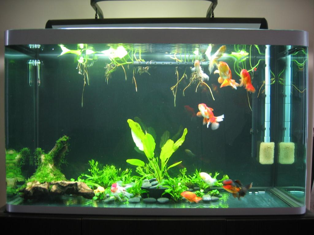 Fish in tank with goldfish - Click Image For Larger Version Name Osaka Jpg Views 79282 Size 87 9