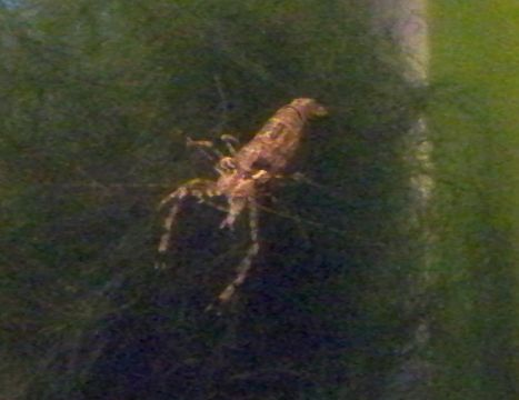 Name:  red claw shrimp berried back 001.jpg