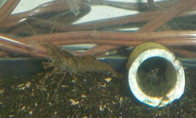 Name:  red claw shrimp hiding.jpg