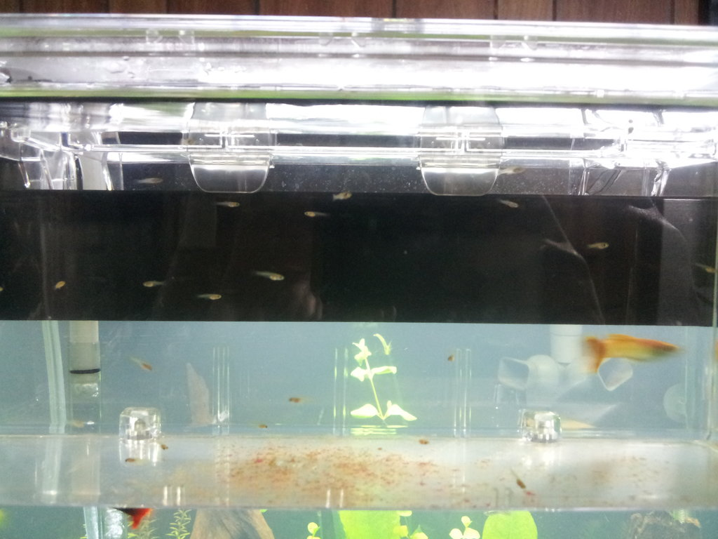 Click image for larger version  Name:rsz_new_guppy_babies_born_030313.jpg Views:70 Size:157.8 KB ID:98282