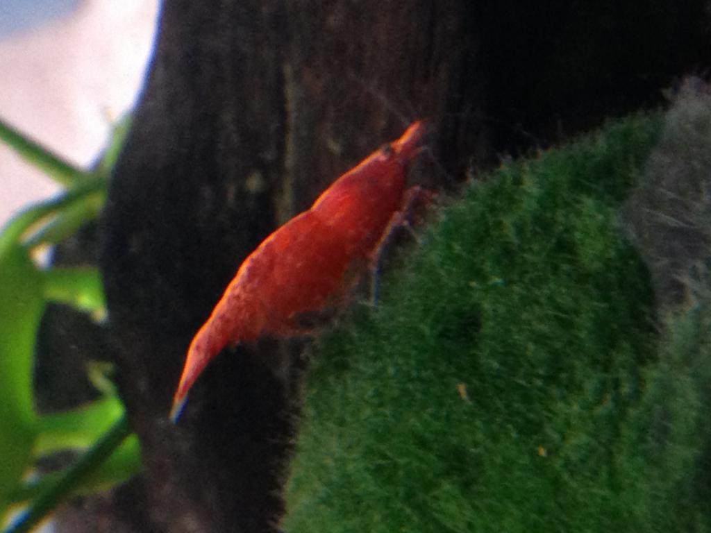 Click image for larger version  Name:shrimpgud.jpg Views:93 Size:65.4 KB ID:583129