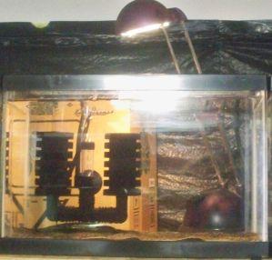 Name:  sponge filter pumpkin hatchlings 003.jpg Views: 145 Size:  35.3 KB