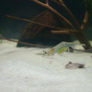 Berried ghost shrimp
