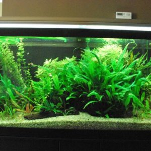 Front view of my 75 gallon tank.  Most of my plants are from the green spectrum.  This is why I have asked for some input on plants with more red on...