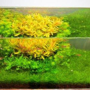 Dwarf Hair Grass, Micranthemoids, hygrophila difformus, Rotala indica, Pogostemon erectus, Nesaea golden, 4 weeks old 10/2/2012