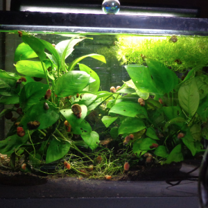 Snail City & Anubia growing on wood, Riccia fluitans floating, 5 gallon