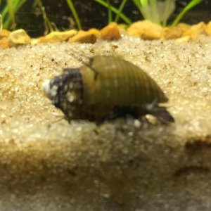 the hairy trumpet snail